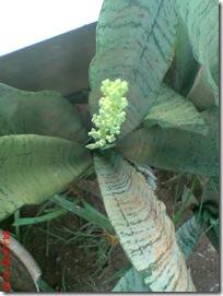 bunga lidah mertua 07
