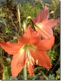 bunga cantik warna oranye 13