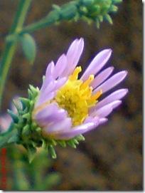 bunga cantik ungu 24