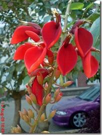 bunga dadap merah 15