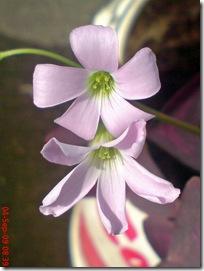 bunga kupu-kupu ungu 17