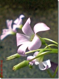 bunga kupu-kupu ungu 27