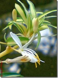 bunga lili paris 08
