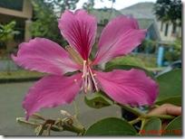 bunga merah daun kupu-kupu 03