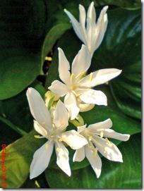bunga putih cantik 23