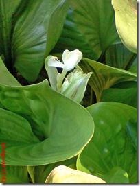 bunga putih cantik 43