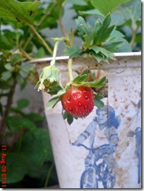 strawberry mini 08