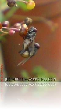lalat kawin 1