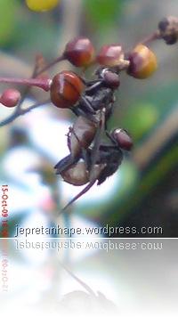 lalat kawin 2