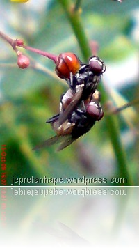 lalat kawin 3