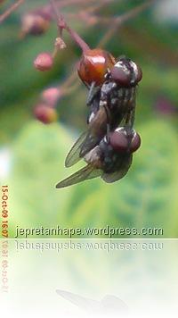 lalat kawin 4