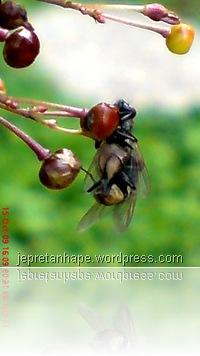 lalat kawin 5