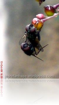 lalat kawin 6