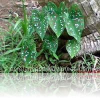 pic of bicolor caladium