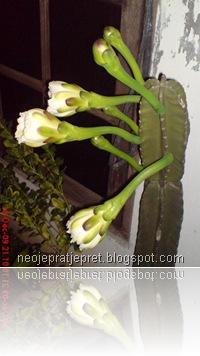 kembang kaktus 04