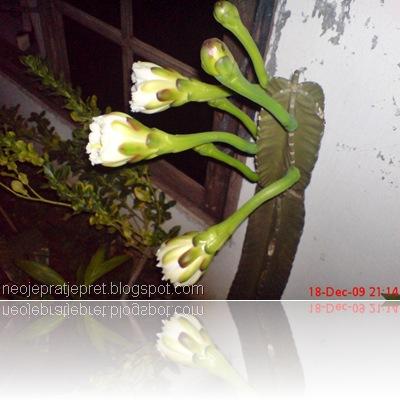 kembang kaktus 11