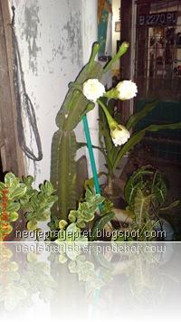kembang kaktus 13