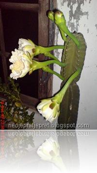 kembang kaktus 16