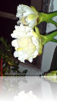 kembang kaktus 18