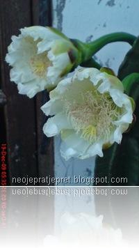 kembang kaktus 24