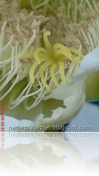 kembang kaktus 31
