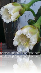 kembang kaktus 32