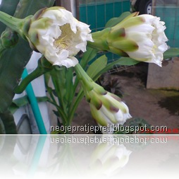 kembang kaktus 39