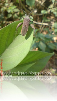 belalang sangit di daun kangkung pagar
