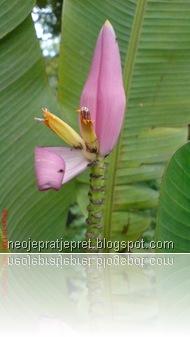 bunga jantung pisang tegak 05