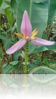bunga jantung pisang tegak 07