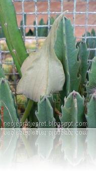 bunga kaktus di TMII 02