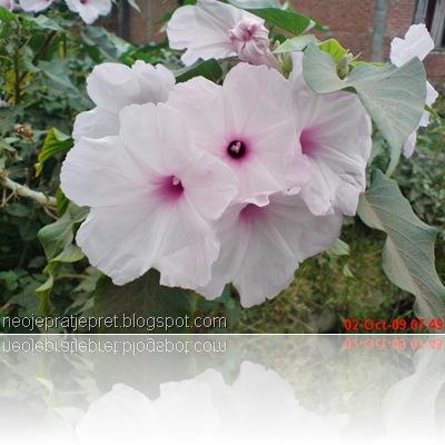 Bunga kangkung pagar 01
