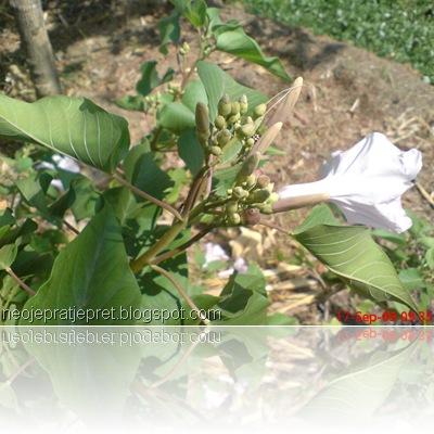 Bunga kangkung pagar 02