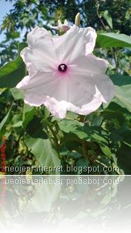 Bunga kangkung pagar 04