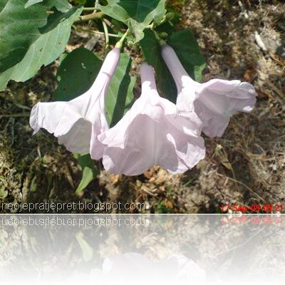 bunga kangkung pagar 05