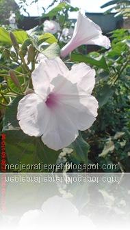 bunga kangkung pagar 07