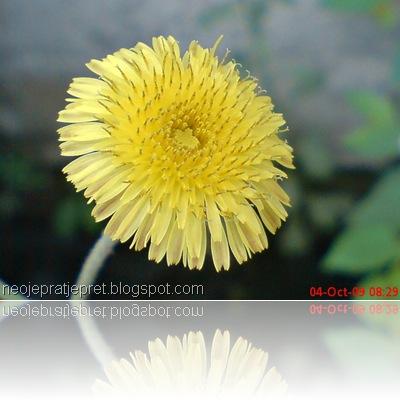 bunga kuning di pinggir got 01