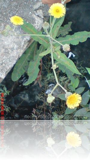 bunga kuning di pinggir got 07