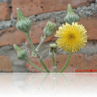 bunga kuning di pinggir got 10