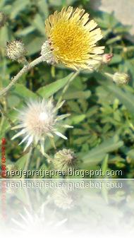 bunga kuning di pinggir got 13