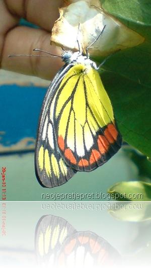 kupu-kupu bersayap kuning 04