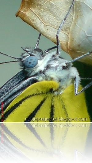 kupu-kupu bersayap kuning 06