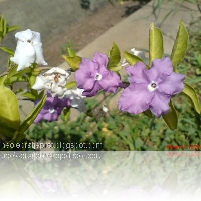 tanaman dengan 2 warna bunga 01