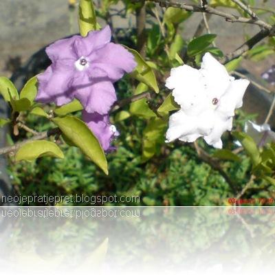 tanaman dengan 2 warna bunga 02