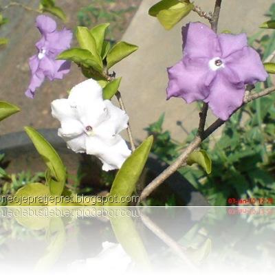 tanaman dengan 2 warna bunga 03