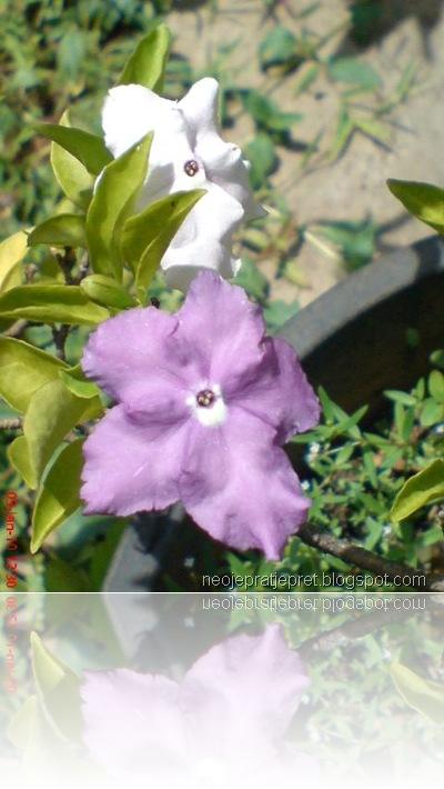 tanaman dengan 2 warna bunga 04