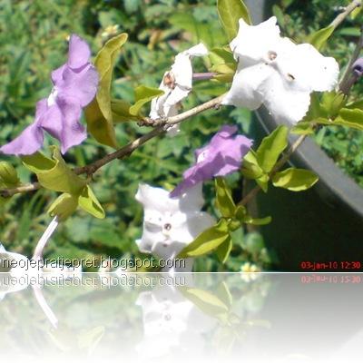 tanaman dengan 2 warna bunga 05