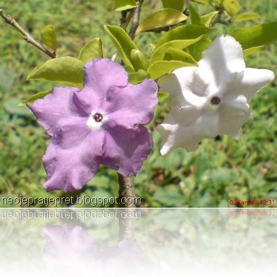 tanaman dengan 2 warna bunga 08