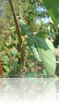 ulat di pohon kangkung pagar