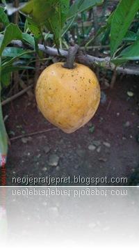buah sawo garut 03